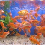 golden-fish-1397309-m[1]